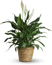 Simply Elegant Peace Lily (Spathiphyllum)